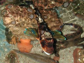 Knurrhahn - Fisch, Knurrhahn, Meeresfisch, Meer, Knochenfisch