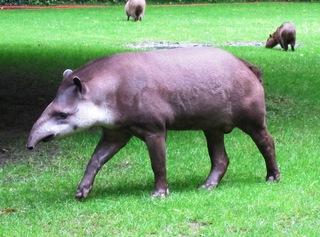 Tapir - Unpaarhufer, Säugetier, Rüssel, Pflanzenfresser, Tapir