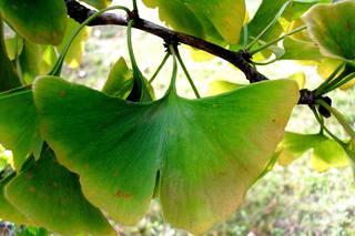 Ginkgo#2 - Ginkgo, Ginko, Silberpflaume, Fächerblattbaum, Fächerbaum, Blatt Herbst, Färbung, Laub, Baum, Gehölz, Natur, gelb, Fächer