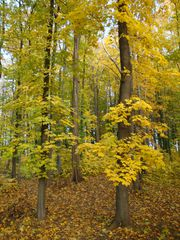 Goldener Herbst#2 - Herbst, Gold, Mischwald, Bäume, Laub, Herbstspaziergang