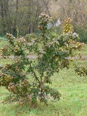 Mispelstrauch - Mispel, Rosengewächse, Kernobstgewächse, Frucht
