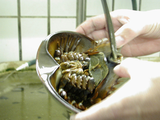Pfeilschwanzkrebs - Pfeilschwanzkrebs, Gliederfüßer, Artenschutz, lebendes Fossil, Küste, Litoralzone, horseshoecrab