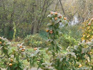 Mispeln - Mispel, Rosengewächs, Kernobstgewächs, Strauch, Frucht, Obst, essbar