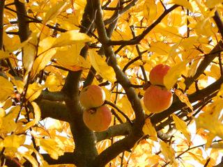 Äpfel im Herbst - Herbst, Obst, Äpfel, Baum, Laub, bunt, Farben, Ernte, vier, gelb, Schreibanlass, Meditation, Kontrast
