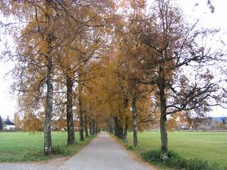 Allee im Herbst - Herbst, Bäume, Laub, Jahreszeit, bunt, farbig, Blätter, Impressionen, Stimmung, Gelb, golden, Allee, Birke, Birken, Birkenallee, Straßenallee, Baum, Fluchtpunkt, Perspektive
