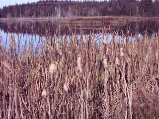 Rohrkolben #1 - Rohrkolben, Rohrkolbengewächse, Flugsamen, Schilf, Sumpfpflanze, Wasserpflanze, Sumpf, Feuchtgebiet, krautig, Röhricht