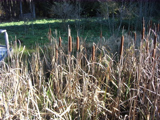 Rohrkolben #2 - Rohrkolben, Rohrkolbengewächse, Flugsamen, Schilf, Sumpfpflanze, Wasserpflanze, Sumpf, Feuchtgebiet, krautig, Röhricht