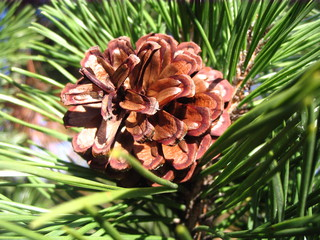 Kieferzapfen#1 - Kiefer, Nadelholz, immergrün, Kieferngewächse, Pinaceae, Nadelbaum, Zapfen, Kienapfel, Pockerl