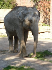 Elefant#2 - Elefant, Wildtier, Elefant, Dickhäuter