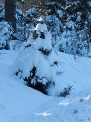 schneebedeckter Nadelbaum - Winter, Winterwald, Wald, Schnee, Nadelbaum, Schreibanlass, zugeschneit, verschneit, schneebedeckt