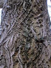 Interessante Rinde eines Baumes - Butternuss - Baum, Rinde, Borke, Oberfläche, Struktur, Muster, rau, regelmäßig, uneben, Kunst