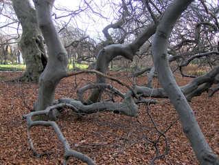 Süntelbuche #3 - Süntelbuche, Buche, Baum, Stamm, Zweige, Äste, verwachsen, verdreht, verkrüppelt, krumm, knorrig, Wuchs, Drehwuchs, Wuchsform, Buschform, unheimlich, Schreibanlass