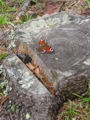 Schmetterling - Natur, Tiere, Schmetterling, fliegen, Baumstumpf, Tagpfauenauge