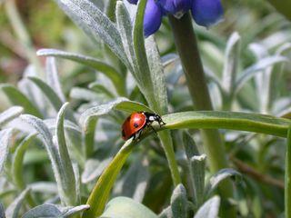 Marienkäfer - Biologie, Tiere, Insekten