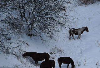 Pferde im Schnee - Pferde, Pony, Einhufer, Herde, Schnee, Nahrungssuche, Winter