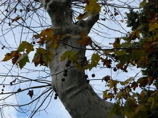 Platane#2 Blätter und Früchte - Platane, Laubbaum, Platanengewächse, Frucht, Früchte, Nüsse, Blätter, ahornblättrig, Kugel, Stamm, Rinde, Zweige, Äste
