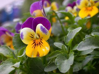 Stiefmütterchen - Biologie, Pflanzen