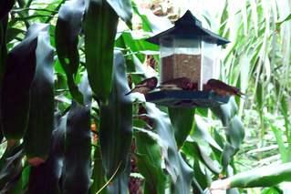 Am Futterhaus - Vogel, Vögel, füttern, Fütterung, Vogelfutter, Futter, Futtermischung, Trockenfutter, Samen, Futterhilfe, Futterstelle, Vogelhäuschen, überdacht, Tropen