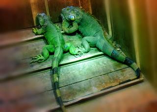 Grüner Leguan#2 - grün, Leguan, Schuppenkriechtier, Kriechtier, baumbewohnend, exotisch, schuppig, tagaktiv, Terrarienhaltung, Höcker, Schuppen, Reptil