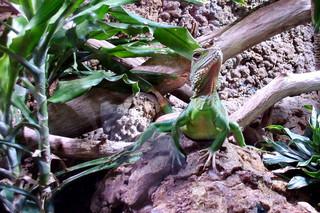 Grüne Wasseragame - Agame, grün, Wasser, Wasserdrache, Reptil, Reptilien, Echse, Echsen, Asien, Südostasien, exotisch, scheu, sonnen, Terrarienhaltung