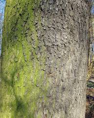 Wetterseite an einem Baum - Wetterseite, Baum, Baumrinde, Rinde, Moos, Flechten, grün, Regen, Wind, Westen, schlechtes Wetter, Himmelsrichtung