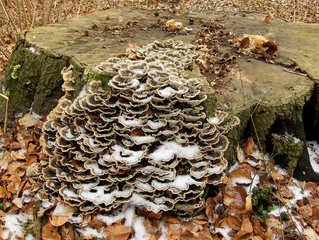 Baumpilz #1 - Pilz, Baumpilz, Schädling, Schmarotzer, Baumschwamm, Parasit, Schwächeparasit, Struktur, Winter, Zersetzer, Totholz, Baumstamm, Baumstumpf, Stumpf, Fruchtkörper