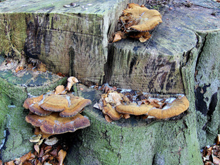 Baumpilz #2 - Pilz, Baumpilz, Schädling, Schmarotzer, Baumschwamm, Parasit, Schwächeparasit, Struktur, Winter, Zersetzer, Totholz, Baumstamm, Baumstumpf, Stumpf, Fruchtkörper