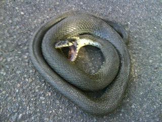 Ringelnatter#2 - Ringelnatter, Natter, Schlange, Kriechtier, Reptil, ungiftig, ungefährlich, eingeringelt, aufgescheucht, geöffnetes Maul