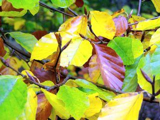 Buchenblätter - Herbstlaub, Buchenblatt, Blatt, Buchenblätter, Blätter, bunt, Herbst, Herbstfarben, fallen, Buche, Laubbaum, Schreibanlass, färben, Färbung, bunt