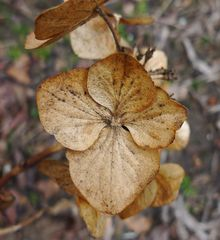 Hortensie - Hortensie, Blüte, verblüht, Herbst, Herbstfarben