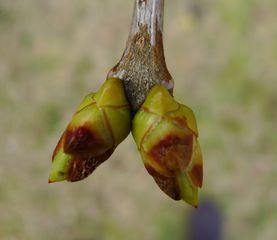 Junger Trieb - Trieb, Frühling, Spross, Jungspross, Jungtrieb, Pflanzenentwicklung