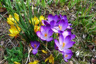 Krokusblüten - Krokus, Frühblüher, Frühling, Schwertliliengewächs, winterhart