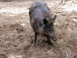 Wildschwein - Wildschwein, Wildtier, Allesfresser, Säugetier, Paarhufer, Jagdwild, suhlen