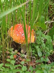 Fliegenpilz - Natur, Pflanzen, Pilze, giftig, ungenießbar, Fliegenpilz