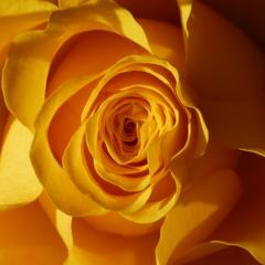 Rose - Rose, Schnittblume, Knospe, Rosengewächs, Naturform, Draufsicht, Rosenblüte, Schnittblume, Blüte, Blume, gelb, Struktur
