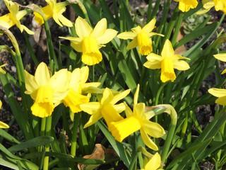 Osterglocken - Osterglocken, Frühjahr, Frühling, Zwiebelgewächs, gelb, Blüte, grün, Narzissen, Märzenbecher