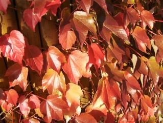 Weinlaub - Herbst, Wein, Laub, Weinlaub, wilder Wein, rot, Blätter, Laubfärbung, Herbstfarben