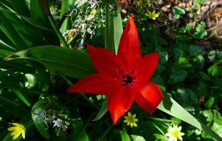 Tulpenblüte - Blume, Tulpe, Tulipa, Liliengewächs, Zwiebelblume, Schnittblume, Blüte, Frühblüher, rot