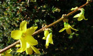 Forsythienzweig - Forsythie, Forsythien, Ölbaumgewächs, Strauch, Zierstrauch, Zierpflanze, Busch, Frühling, Frühjahr, Blüte, Blüten, Zweig, gelb