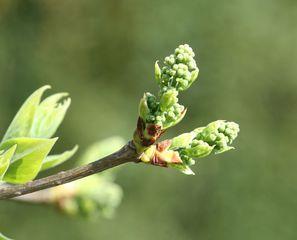 Flieder - Flieder, Lippenblütengewächs, Ölbaumgewächs, Zierstrauch, Heilpflanze, sommergrün, Blütenstand, Frühling, Frühjahr