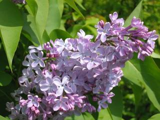 Fliederblüte - Flieder, lila, violett, fliederfarben, Duft, Lippenblütengewächs, Ölbaumgewächs, Heilpflanze, Zierpflanze, vier
