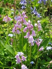 Hasenglöckchen - Frühling, Frühblüher, Blumenbeet, Zwiebel, Blumenzwiebel, Glöckchen, Glocke, Waldhyazinthe, scilla non-scripta