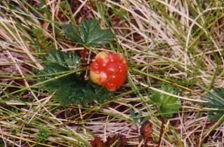 Moltebeere - Beeren, Moltebeere, Sumpfbeere, Lakka, nordeuropäische Pflanze, Multebeere