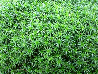 Frauenhaarmoos #2 - Frauenhaarmoos, Polytrichum, Moos, grün, Wald, Gewöhnliches Widertonmoos, Großes Haarmützenmoos, Widertonmoos