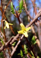 Forsythie #1 - Forsythien, Forsythia, Kelchblätter, Goldflieder, Goldglöckchen, Stangenblüter, blühen, Blüte