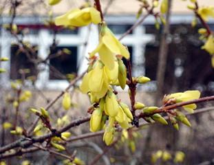 Forsythie #4 - Forsythie, Forsythia, Blüten, Knospen, Zweig, Frühling, Blüte, Knospe, blühen