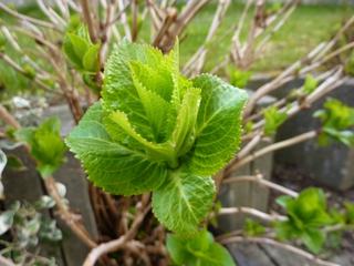Trieb einer Hortensie - Hortensie, Gartenhortensie, Hortensiengewächs, Trieb, Frühling, treiben, austreiben