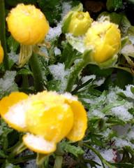 Gelbe Ranunkeln mit Schnee - Ranunkel, Schnee, April, Frühling, Frühblüher, Wechsel