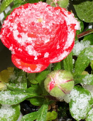 Rote Ranunkeln mit Schnee - April, Schnee, Ranunkel, Winter, Frühling, Wechsel, Übergang, Frühblüher, blühen