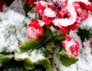 Primeln mit Schneemantel - Primel, rot, Schnee, Winter, Frühling, Übergang, Frühblüher, blühen